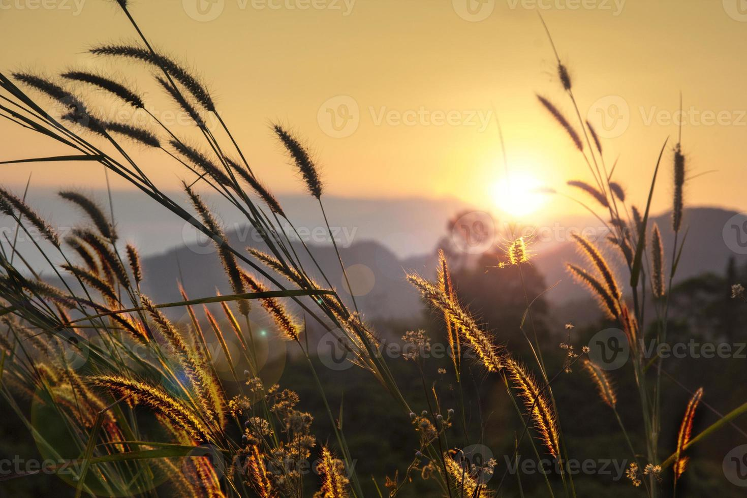 pampas gräs foto