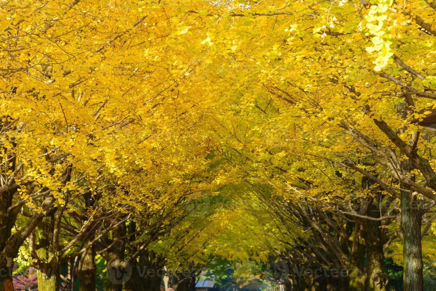 ginkgo trädkantade i hikarigaoka park i tokyo foto