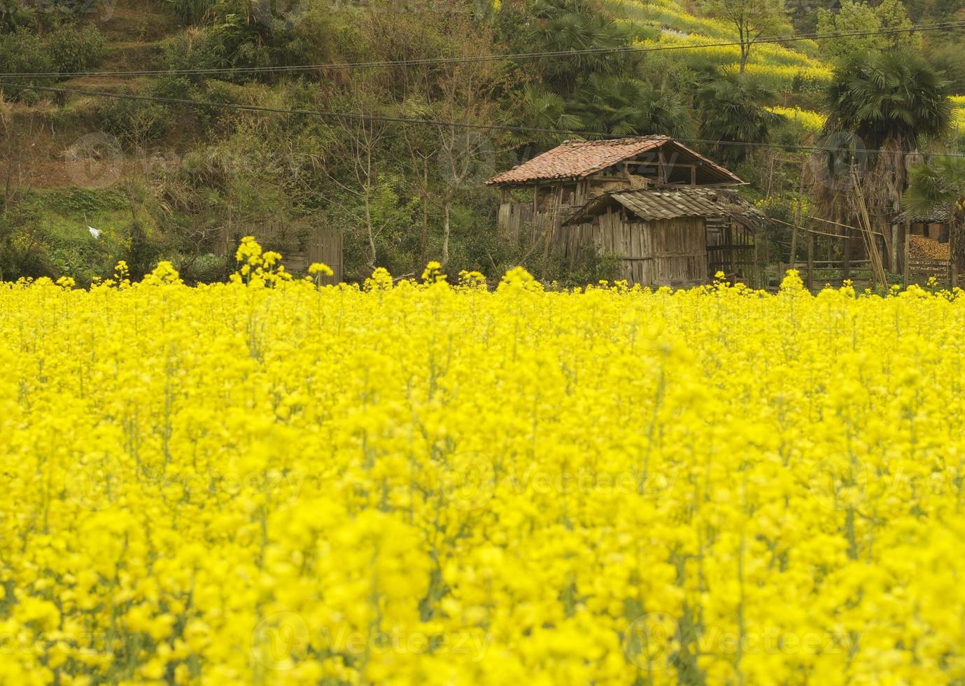 våldtäcksfält vid jiangxi foto