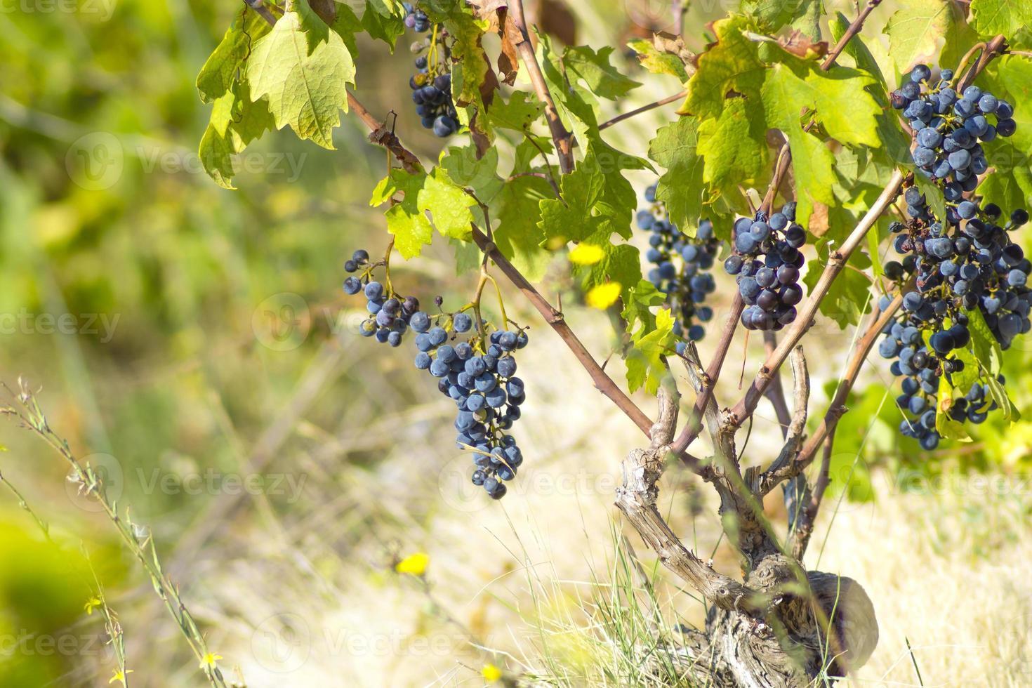 mogen blå vinstock vild foto