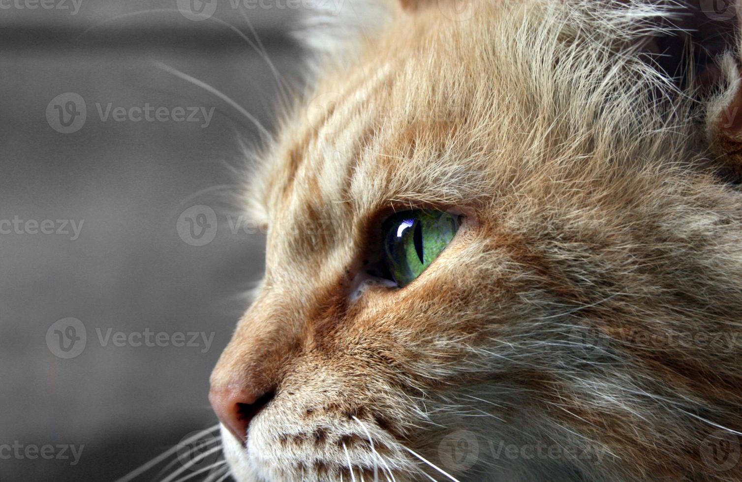 katt med gröna ögon foto