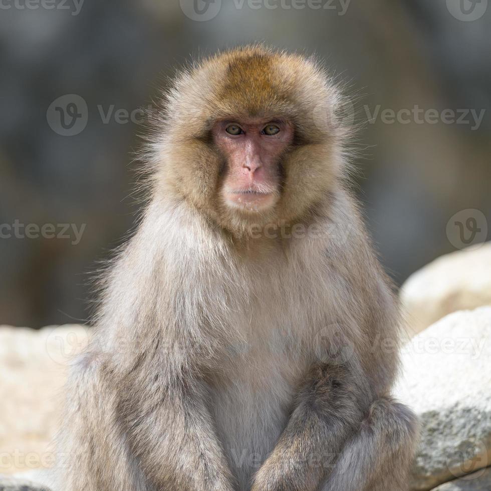 japansk makak porträtt foto
