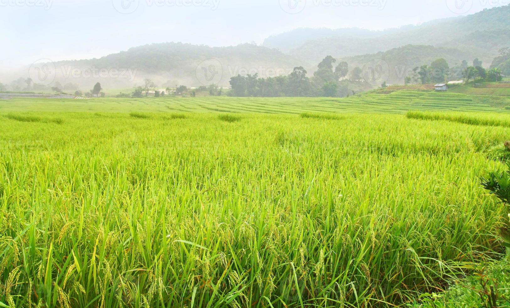 terrasserad rovfält, Thailand foto