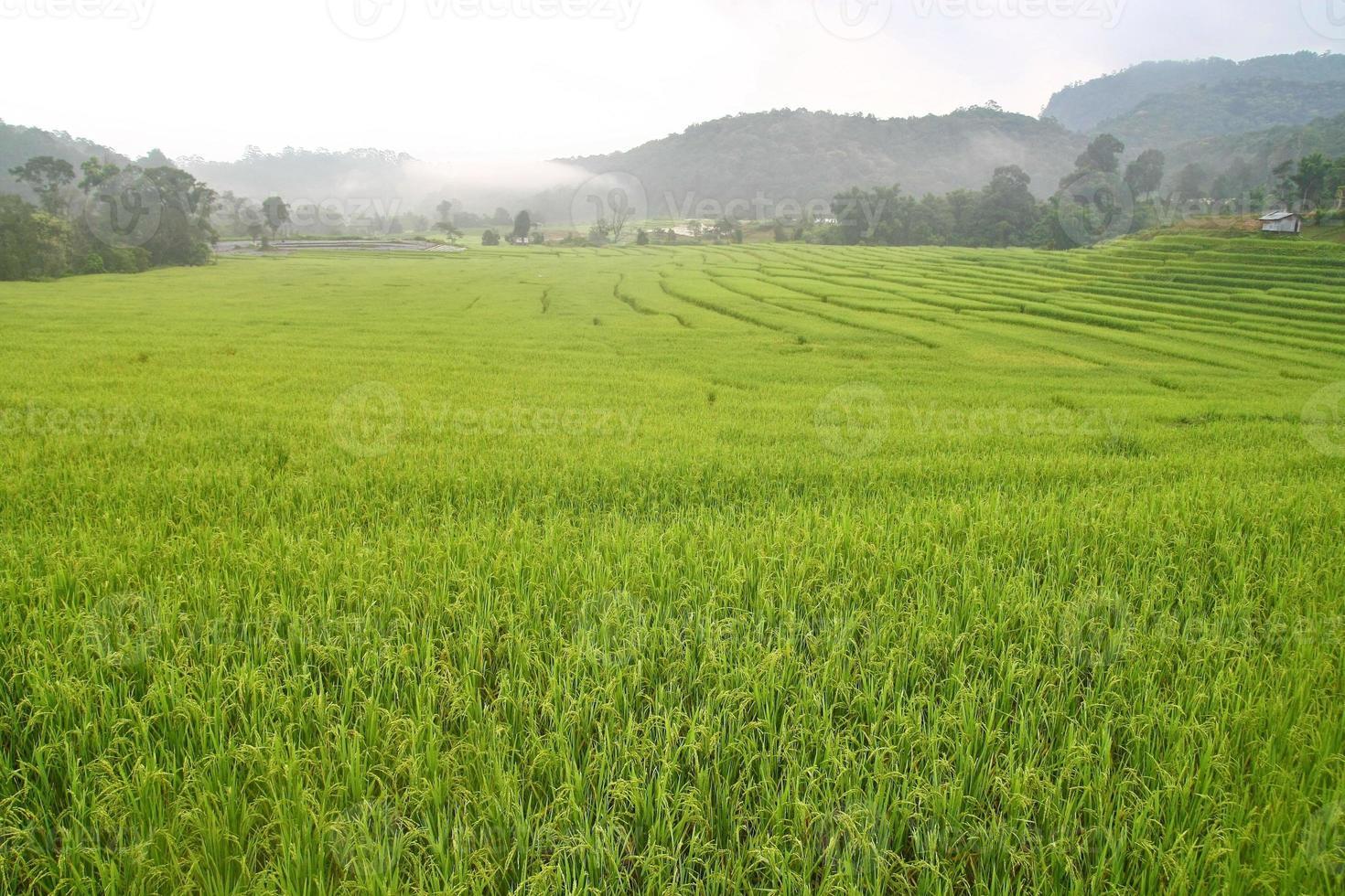 paddefält i Thailand foto