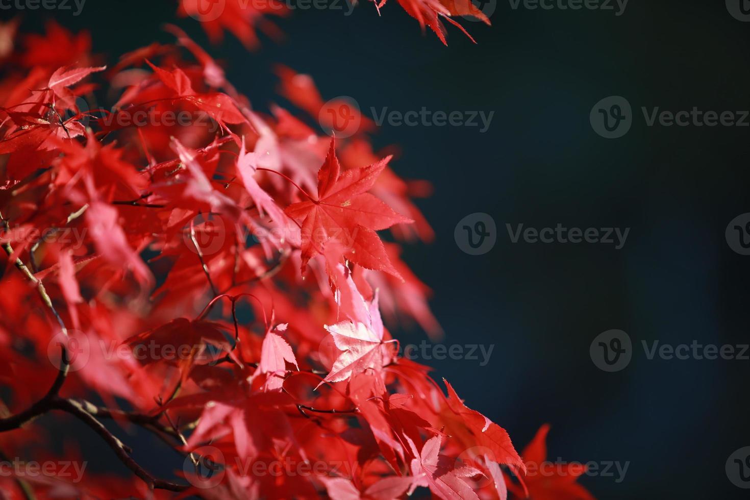 höst röda blad i japan kyoto foto