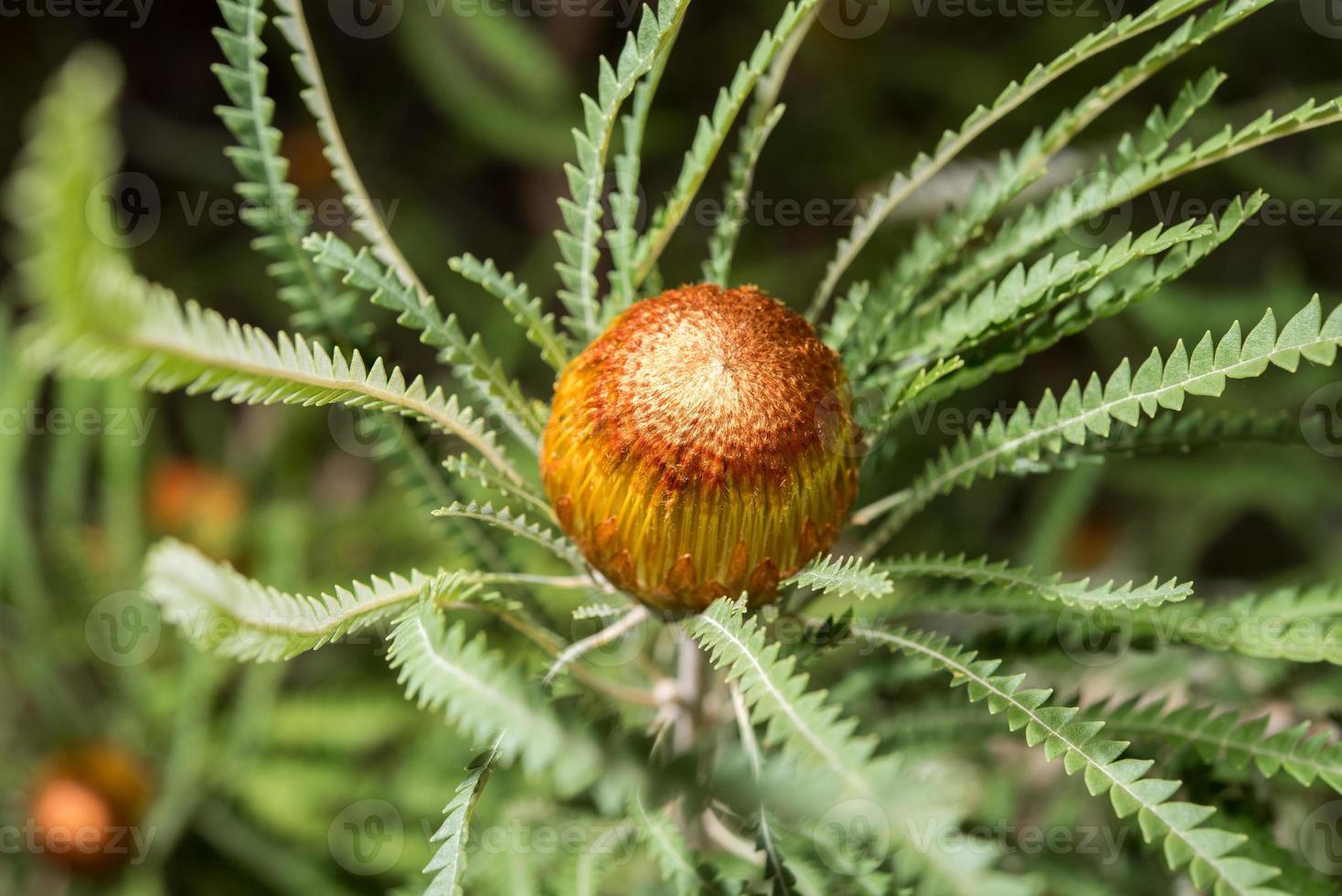 australien bush flora blommor detalj Banksia blomma foto