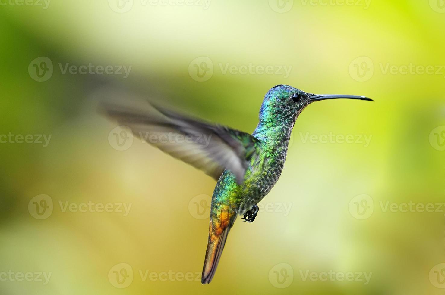 guld-tailed safir kolibri foto