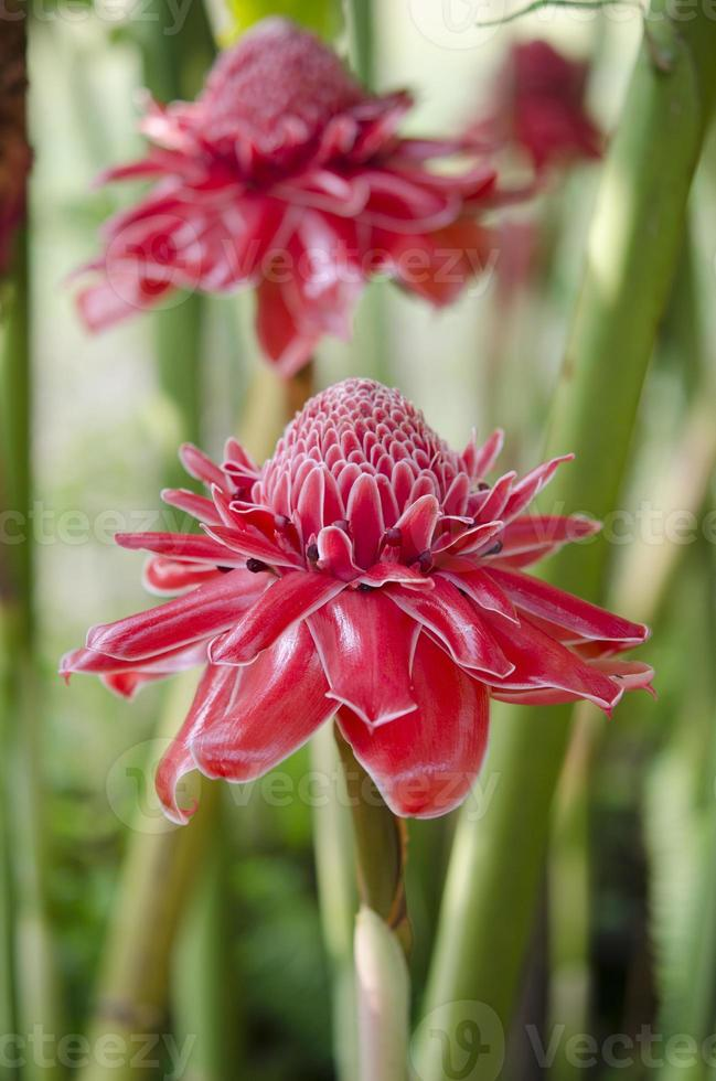 etlingera elatior blommor foto