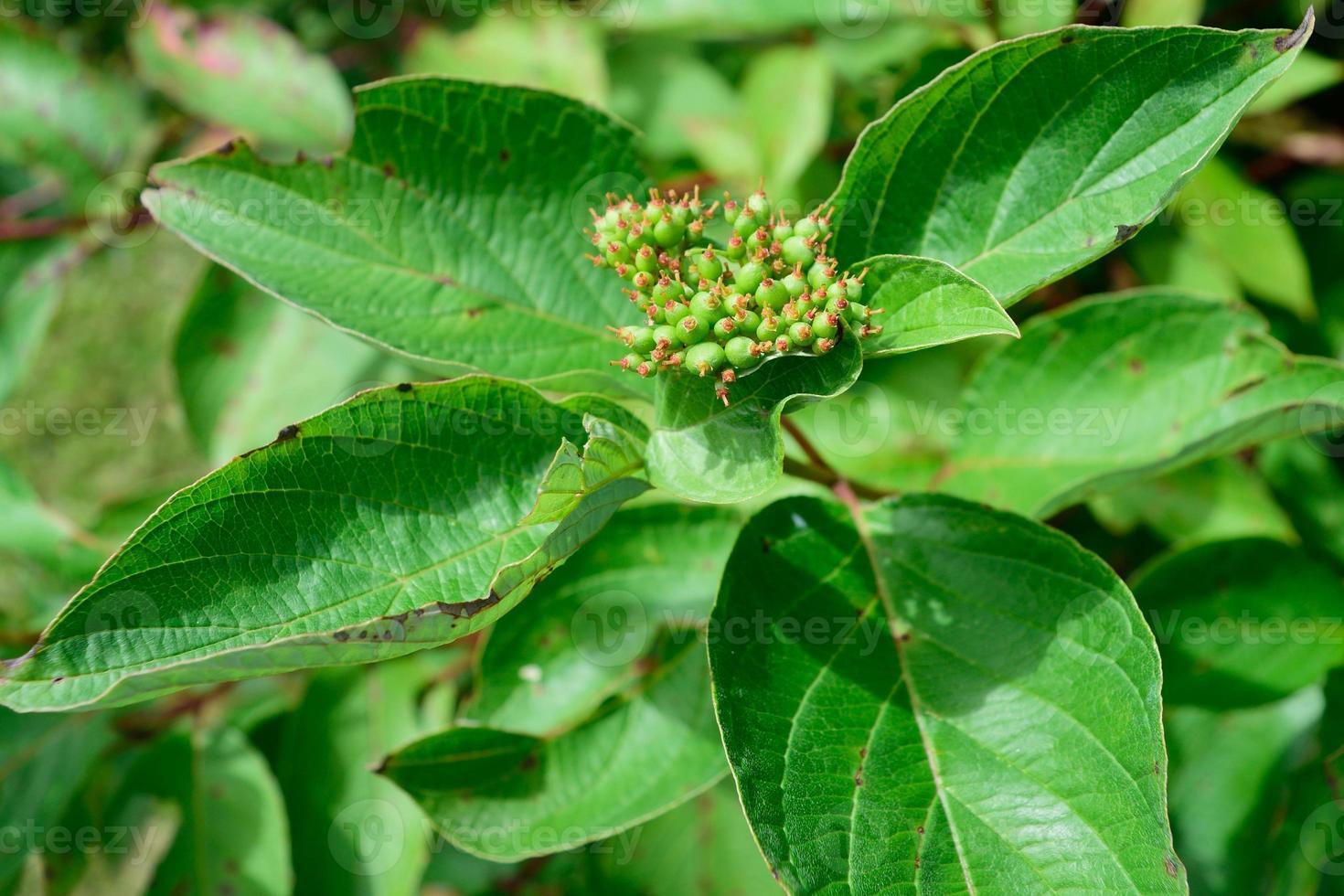 röda osier dogwood (cornus sericea) blad och tidig frukt foto