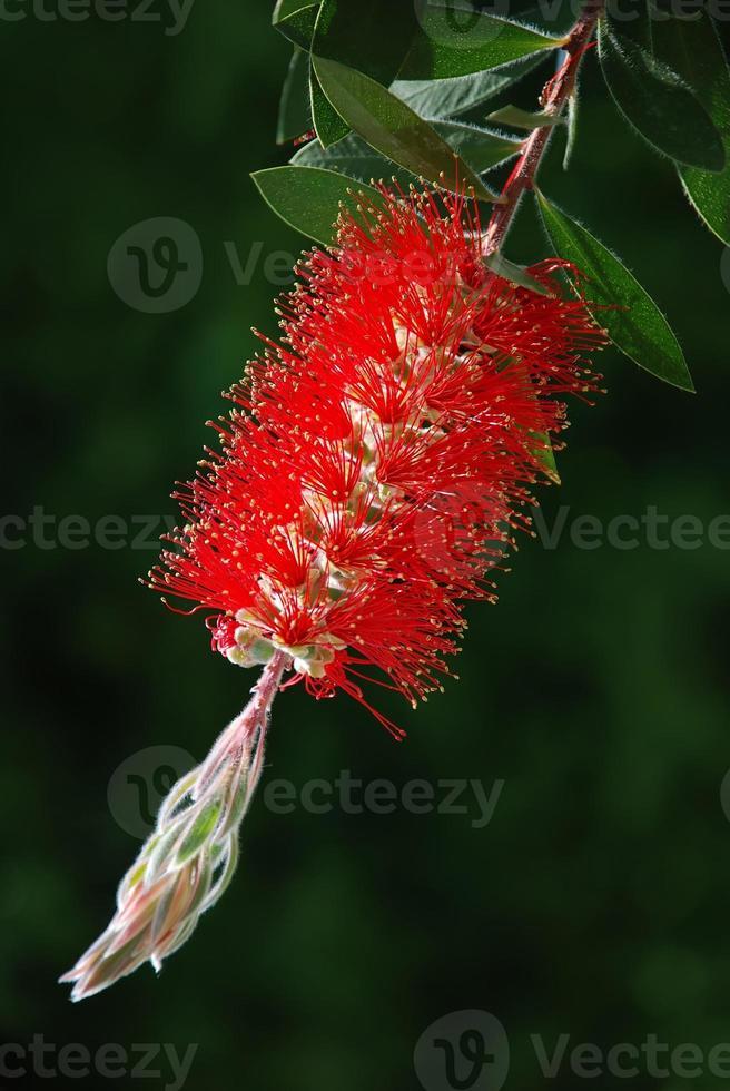 rött flaskborste träd (callistemon) foto