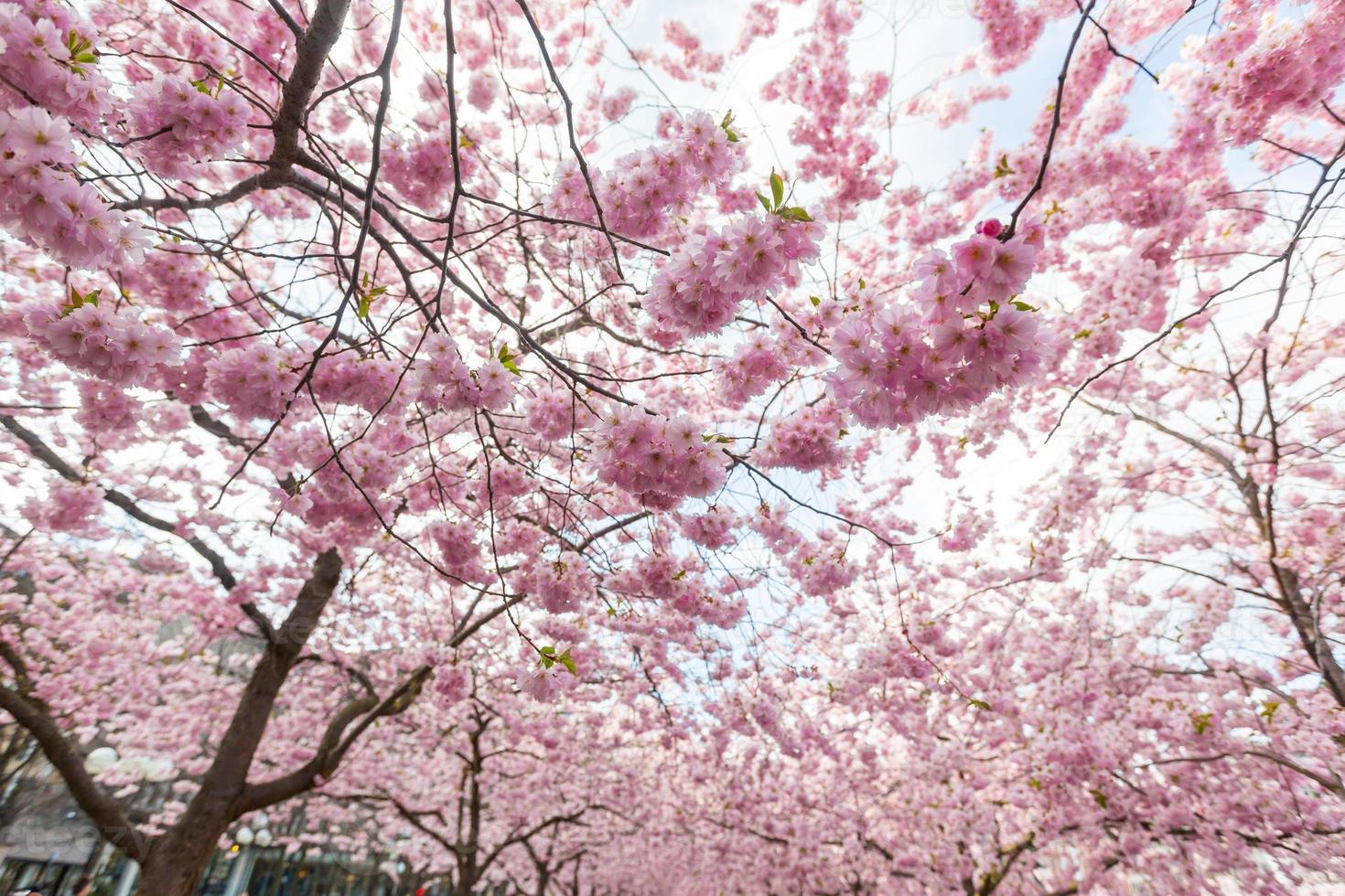 körsbärsblommor i stockholm på kungstradgarden, kungens trädgård foto