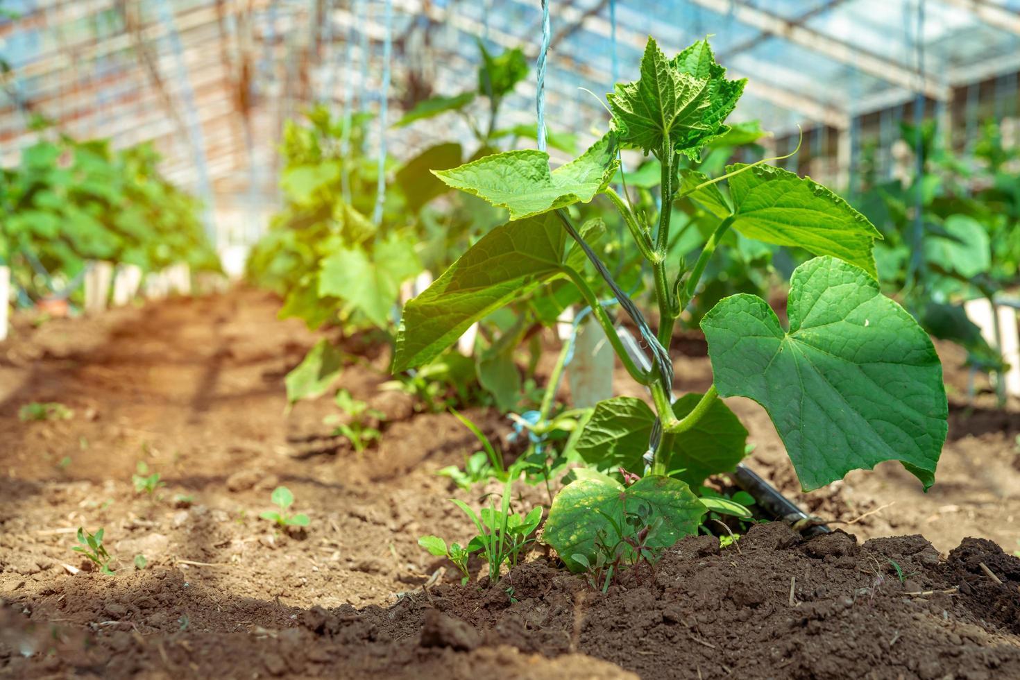 gurkor som växer i ett stort växthus foto