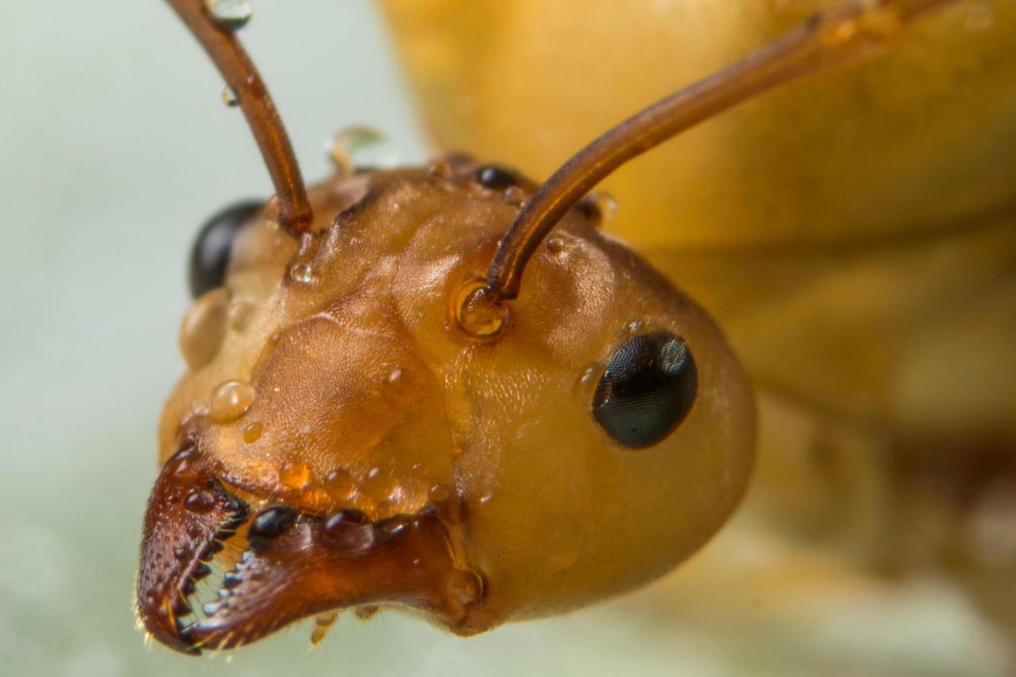 extrem närbild av röd myra ansikte foto