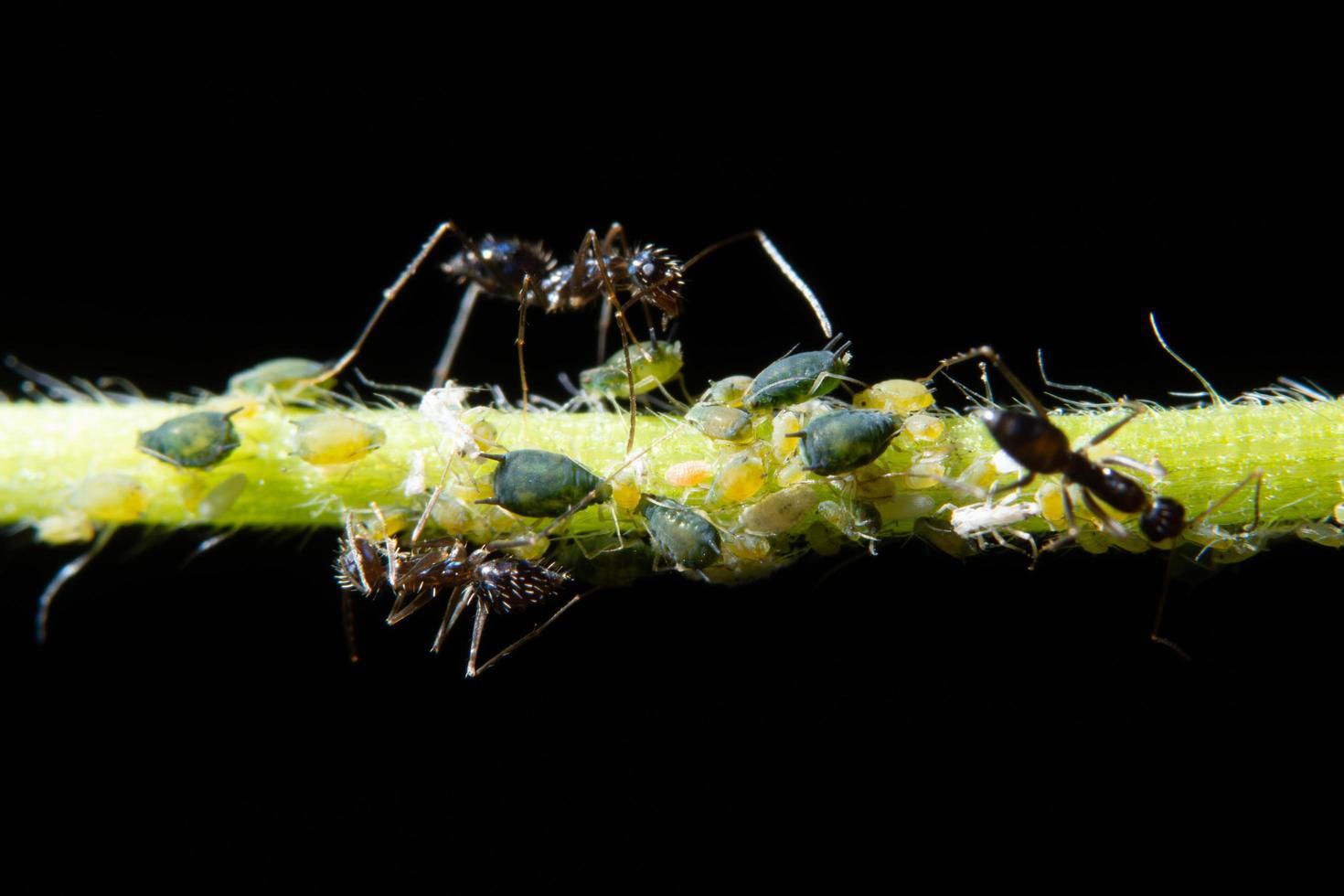 makro bladlöss med myror foto