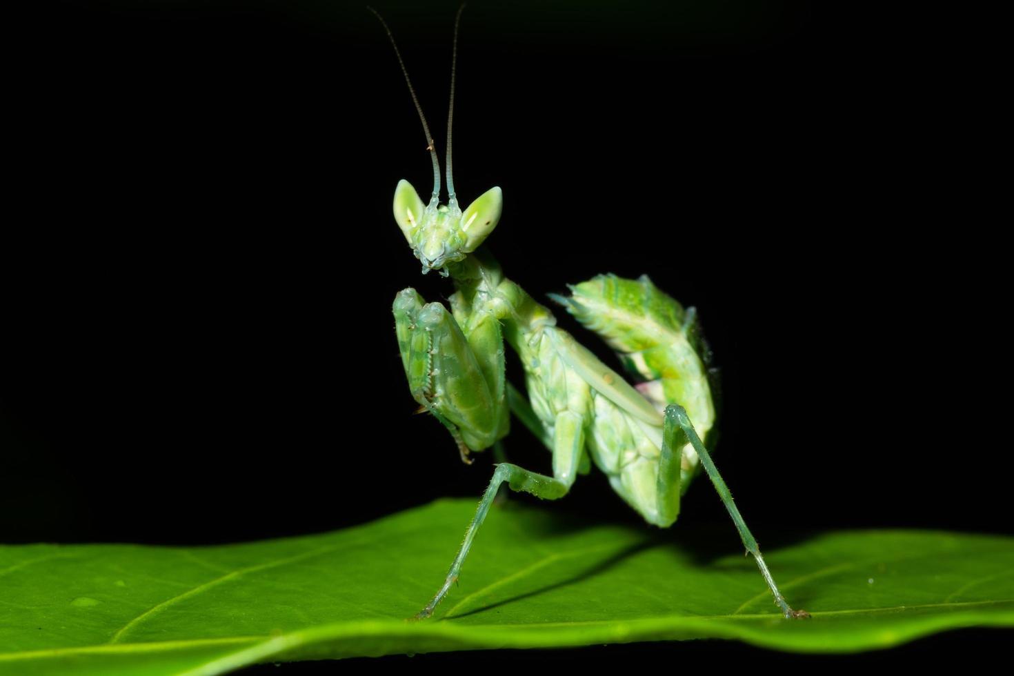 grön mantisbugg foto
