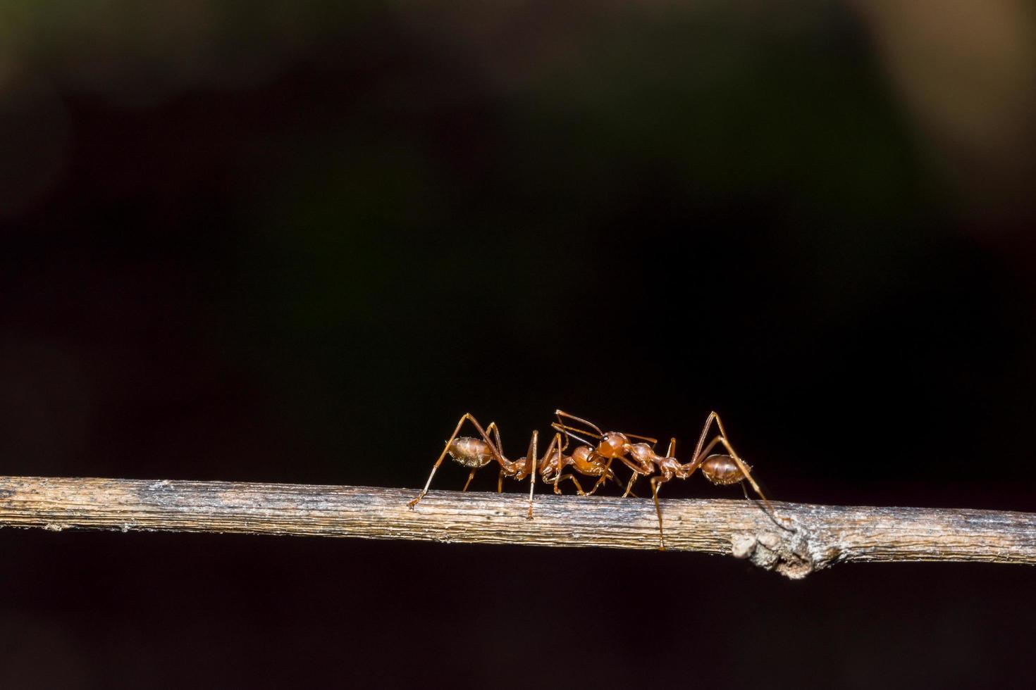 makro röda myror foto