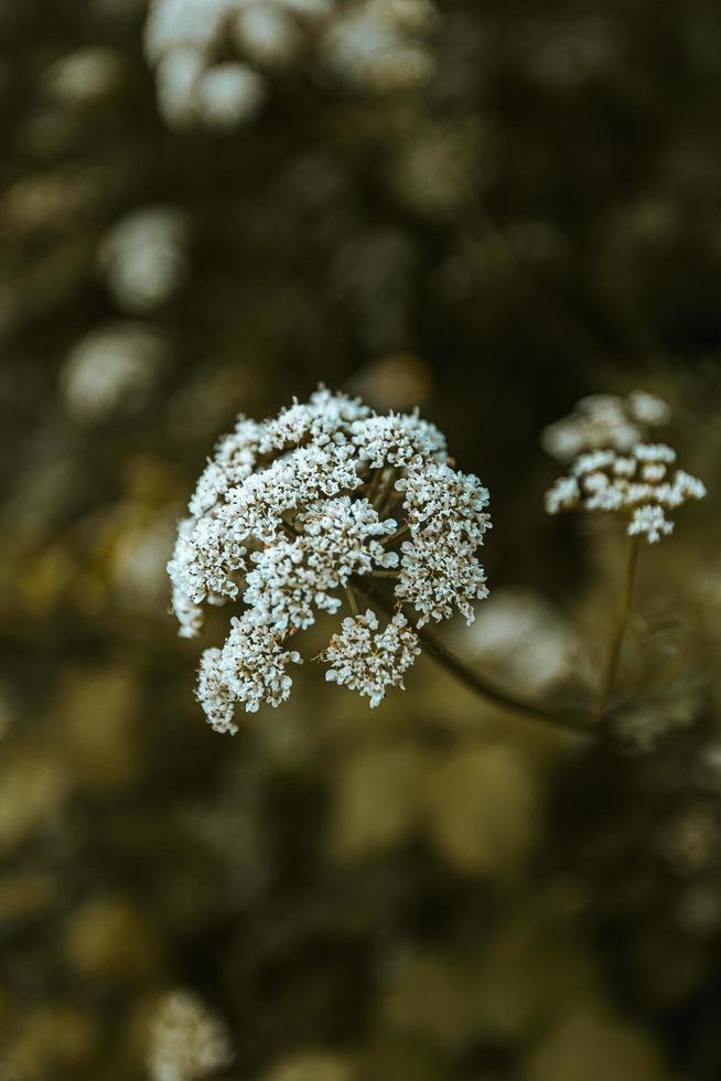vit blomma foto