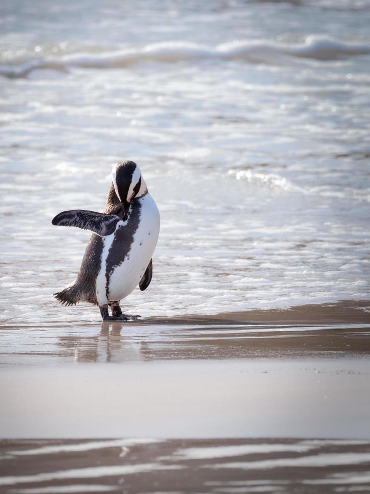 pingvin vid stranden foto