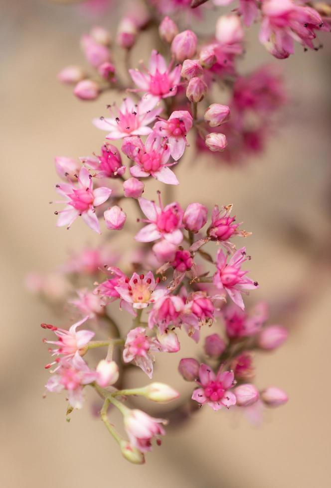 rosa mjölkvägsblommor foto