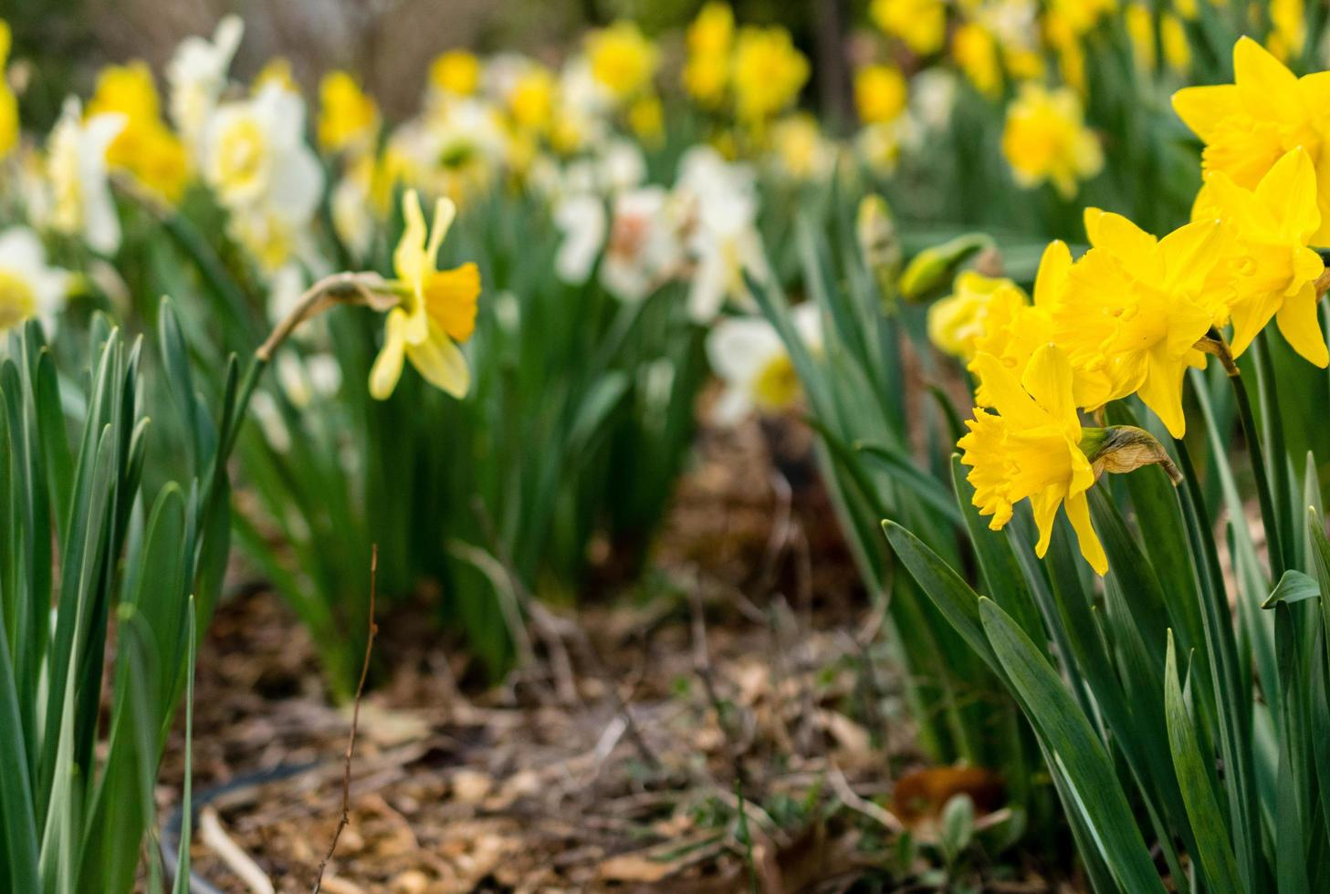 gul kluster av blommor foto