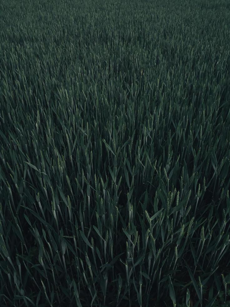högt grönt gräs foto