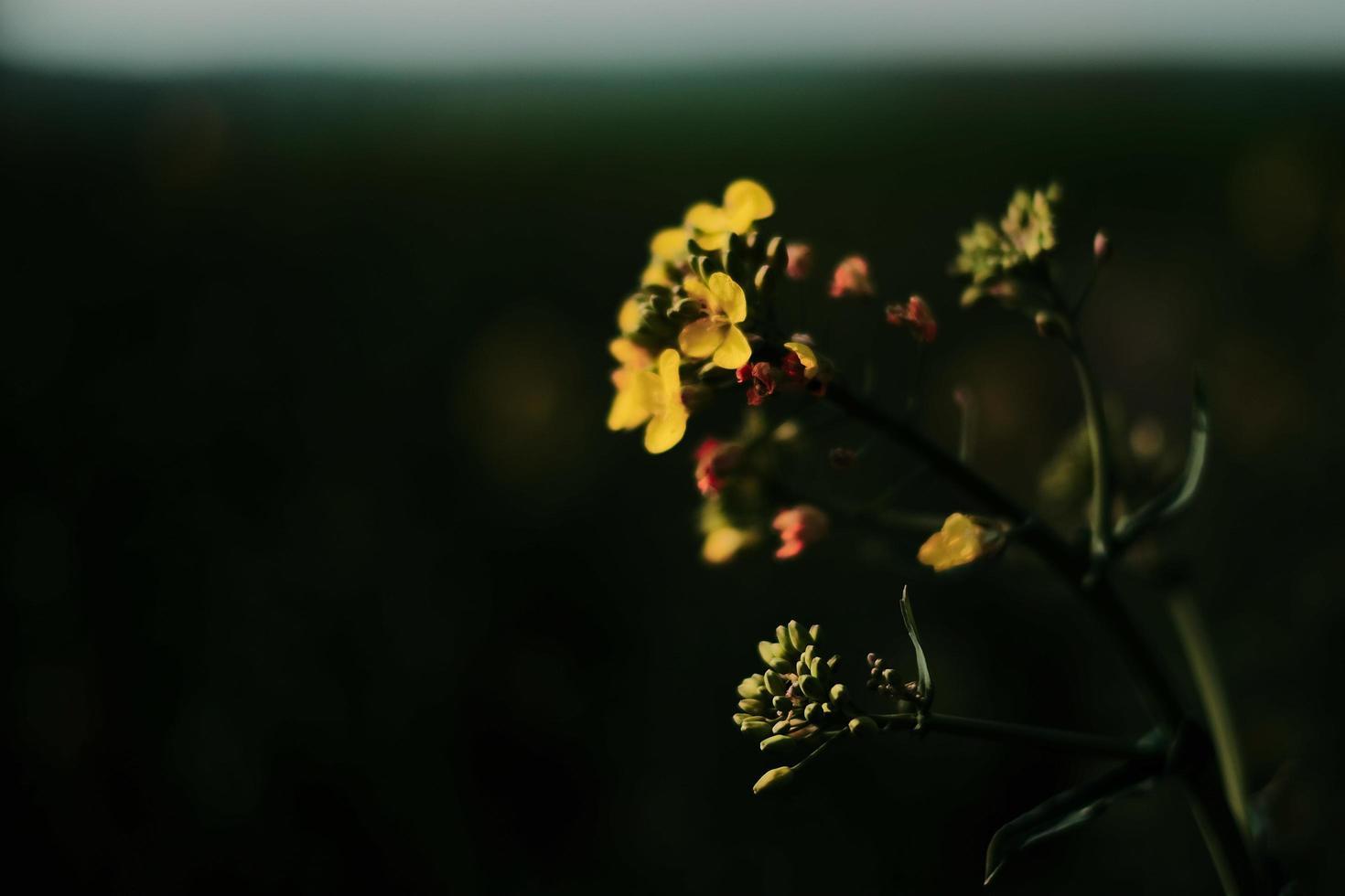 gula blommor i svagt ljus foto