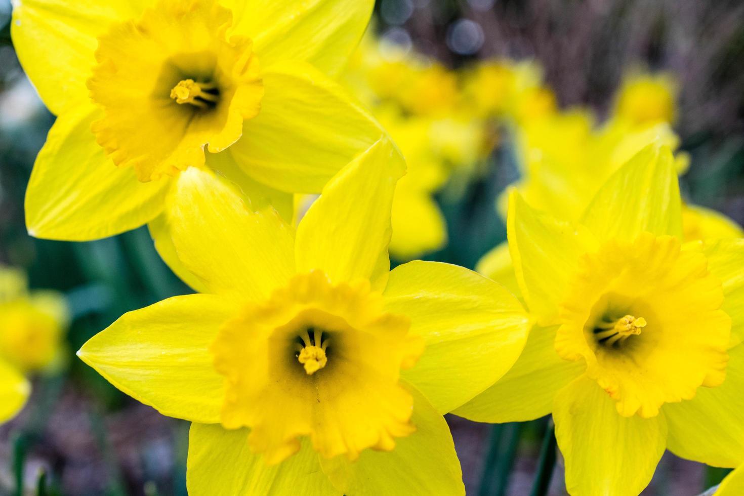 tre gula blommor foto