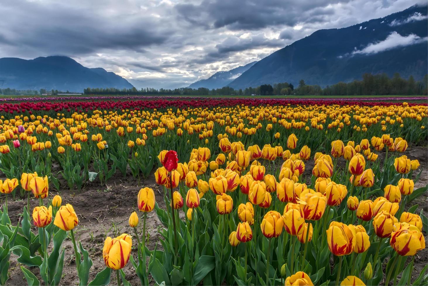 fält av gula och röda tulpaner foto