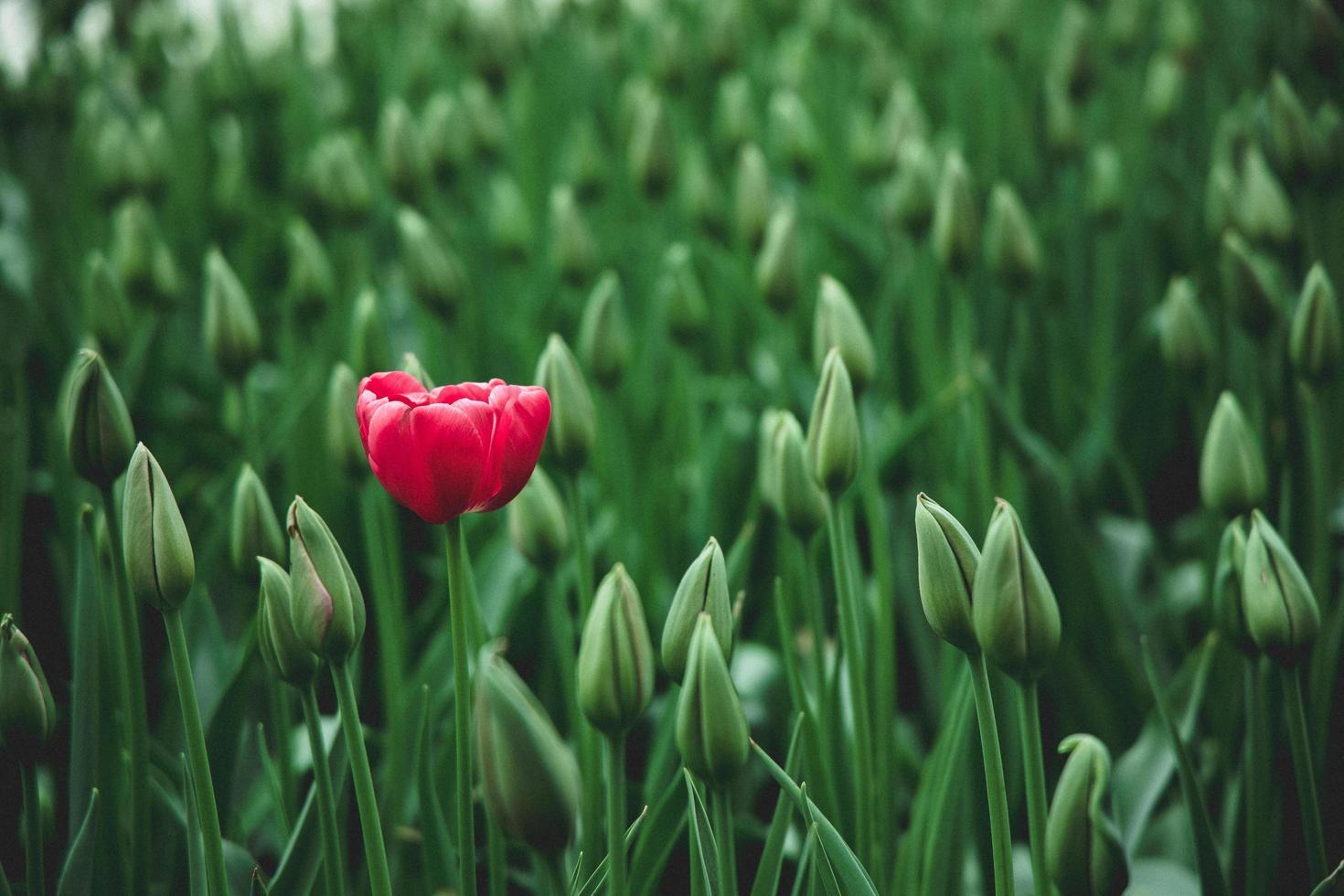 röd tulpanblomma foto