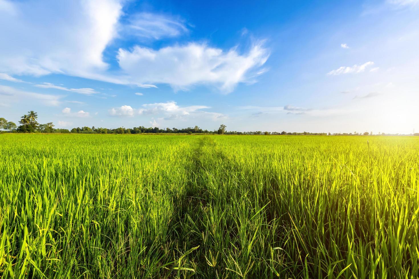 ljusgrön solig majsfält foto
