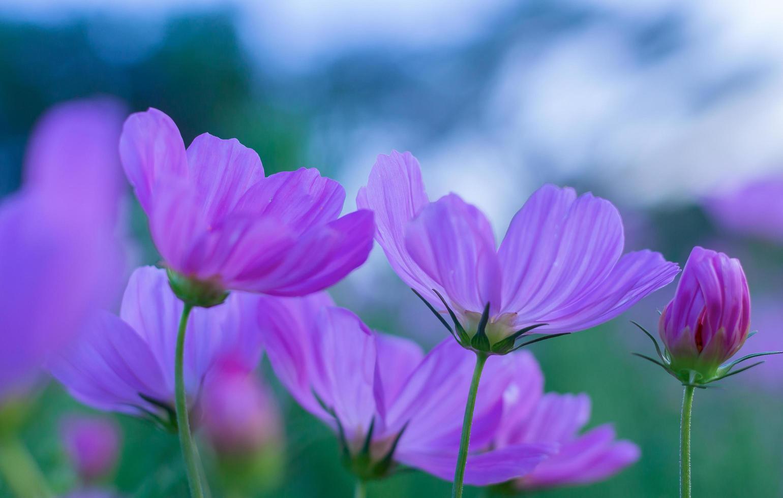 lila kosmosblommor i trädgården foto