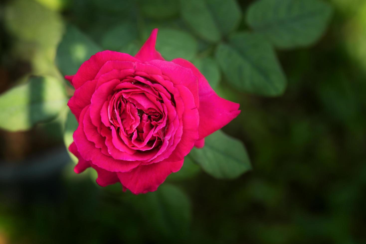 röd ros i en trädgård foto