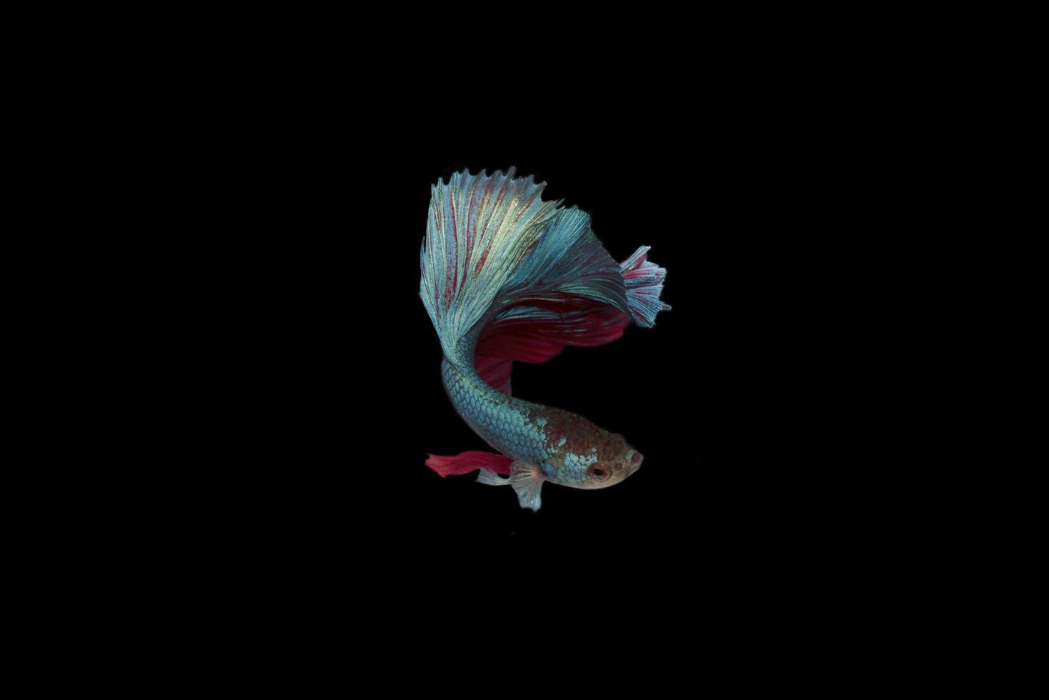 siamese halvmånad betta slåssfisk foto