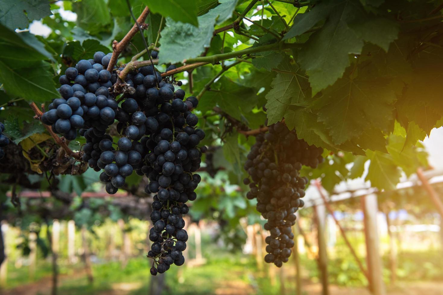 concord druvor på vinstockar foto