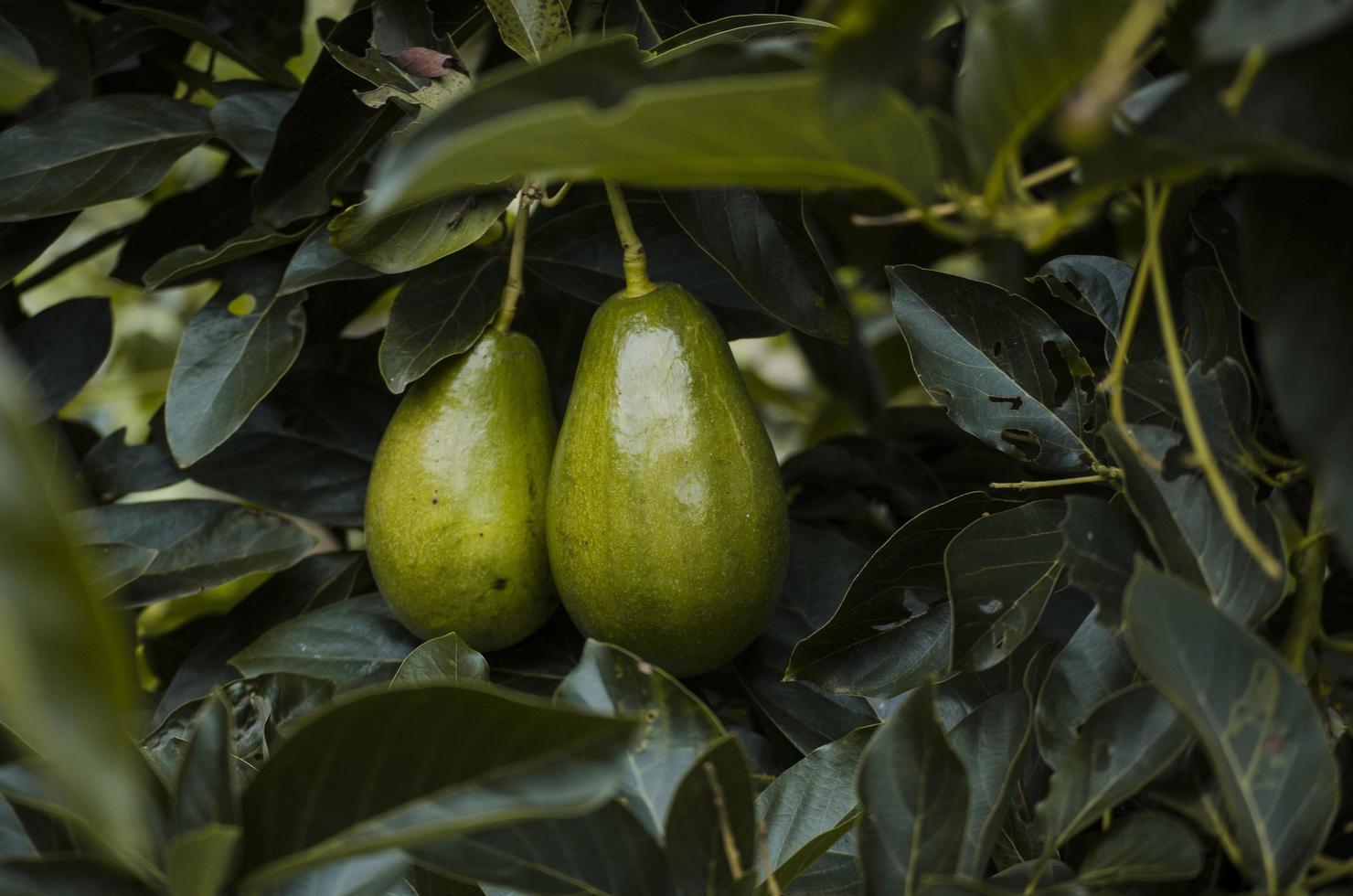 närbild av avokadoväxt foto