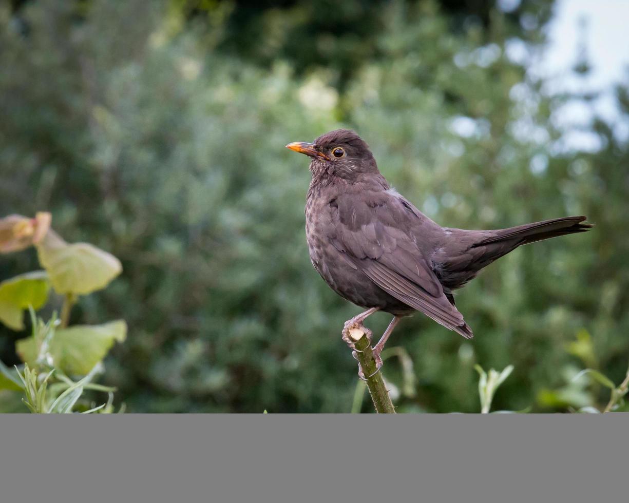 kvinnlig svartfågel på gren foto