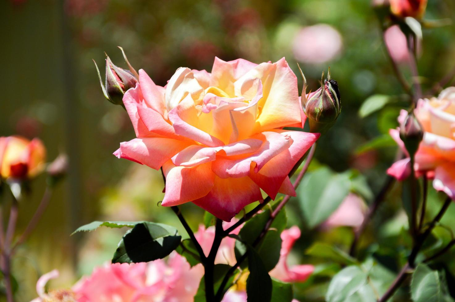 rosa ros i solljus foto