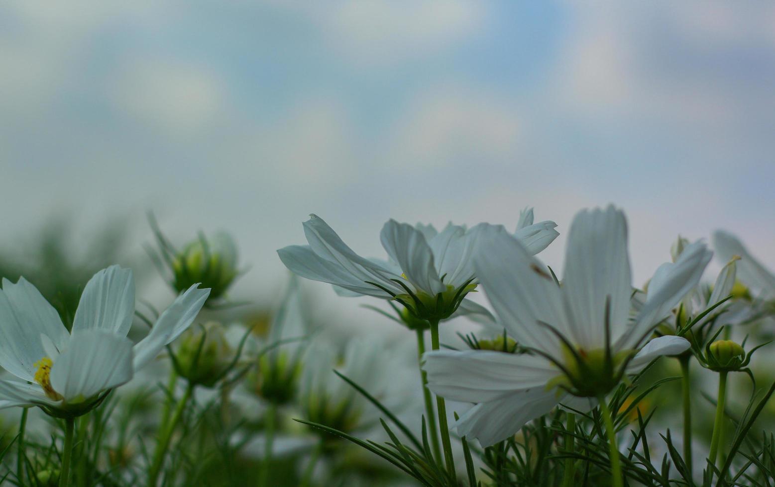 vit kosmosblomma som blommar foto