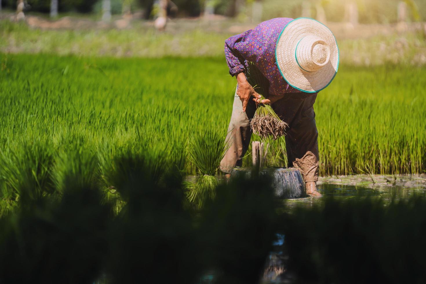 person som planterar i risfält foto