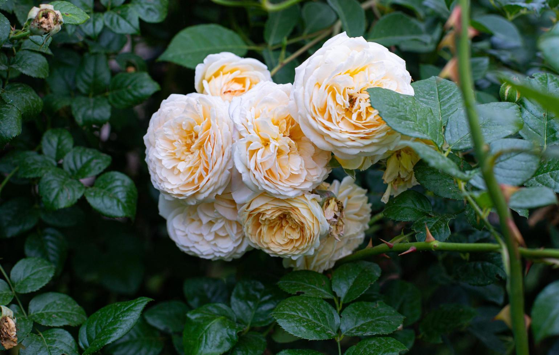 persika engelska rosor foto