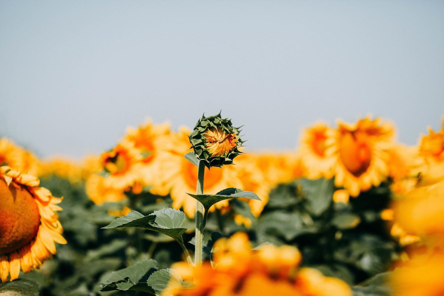 solros börjar blomma foto