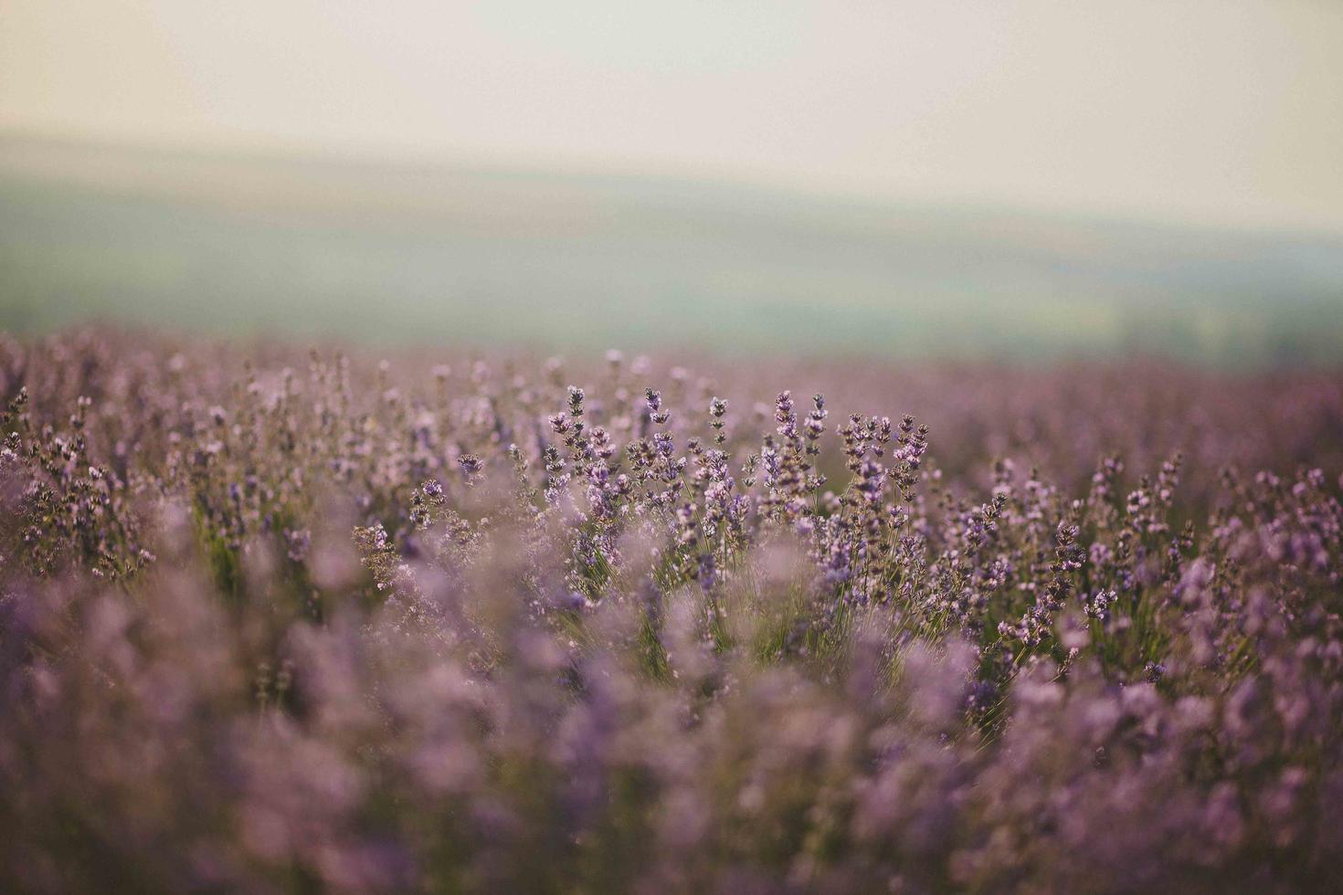 lavendel blomma fält foto