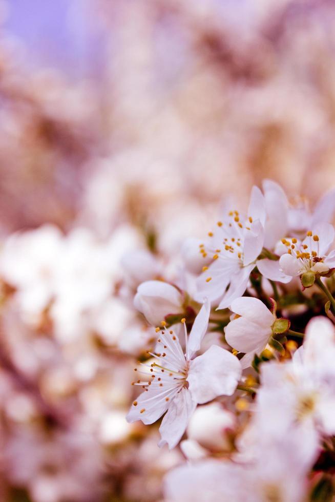 närbild av körsbärsblommablommor foto