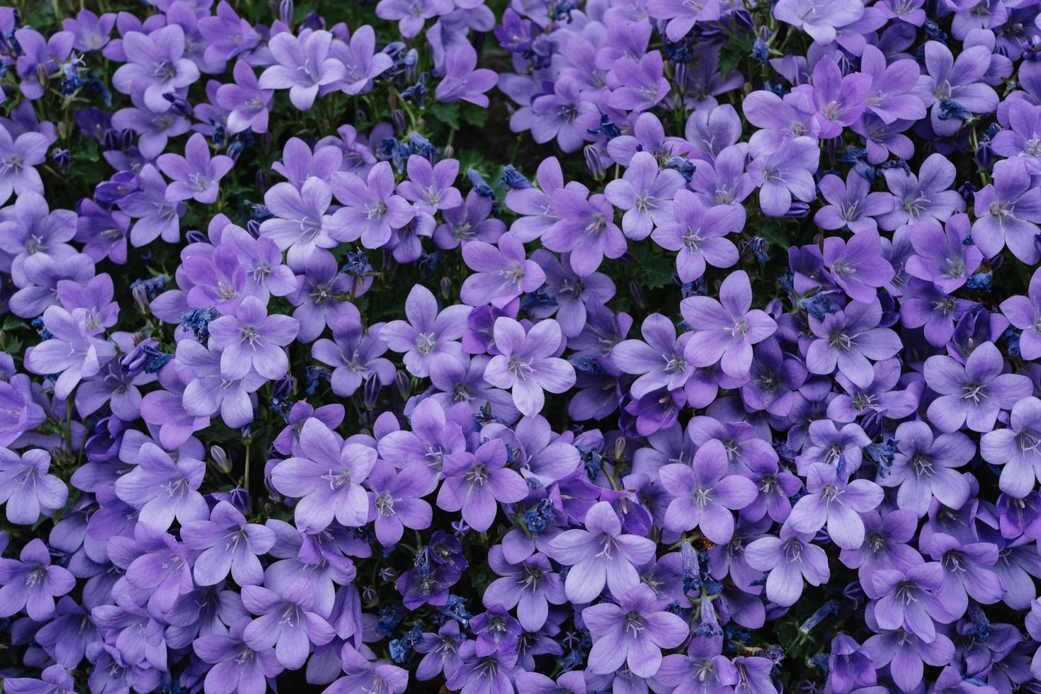 ett fält av lila blommor foto
