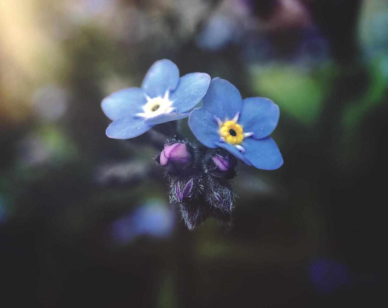 blå kronblad blommor upplyst av solljus foto