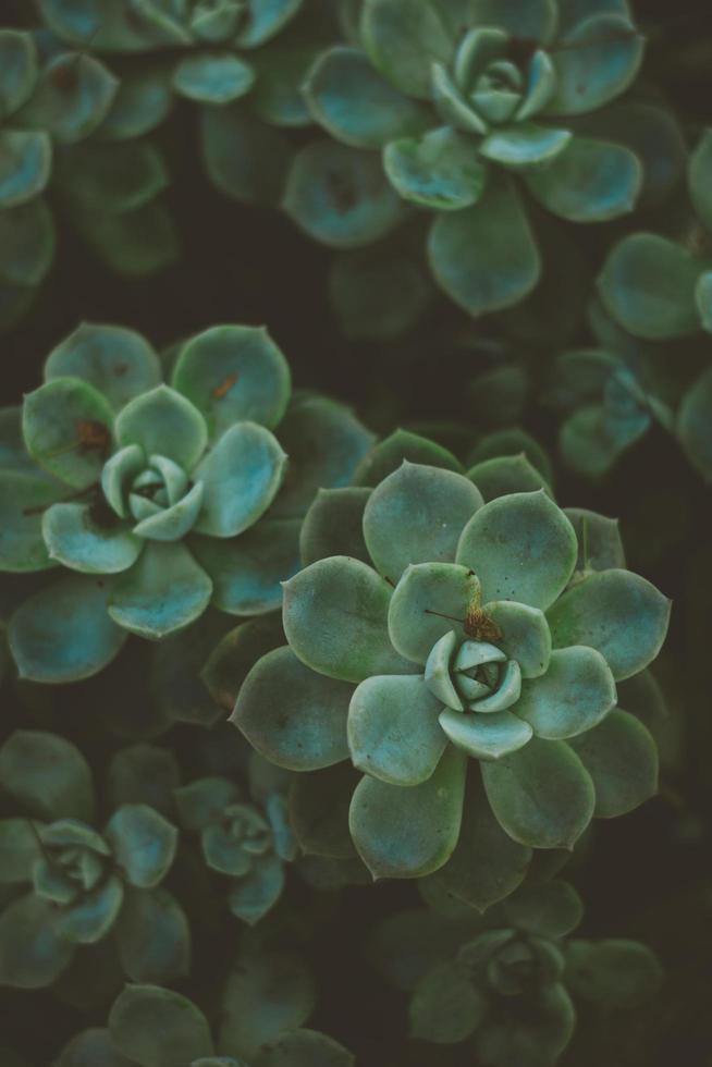 saftiga växter utomhus foto