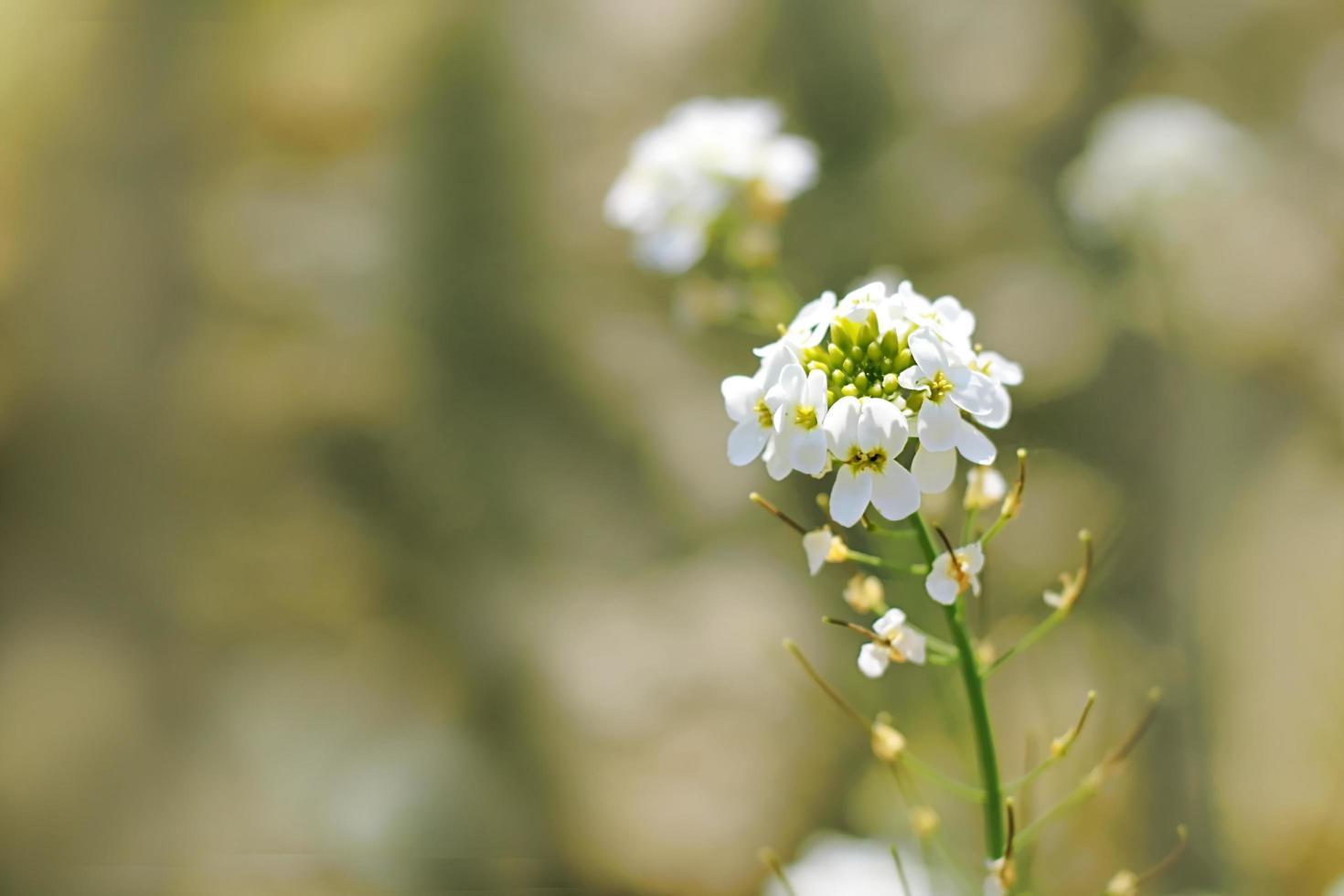 vita blommor i fältet foto