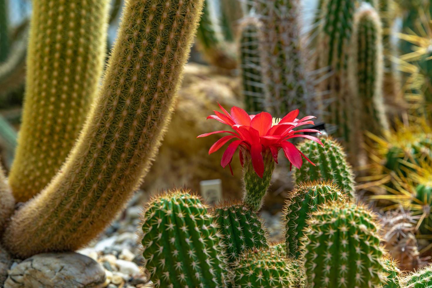 röd blomma på kaktus foto