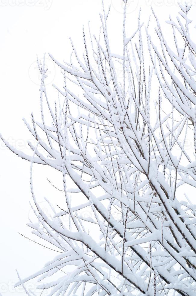 snö på grenarna foto