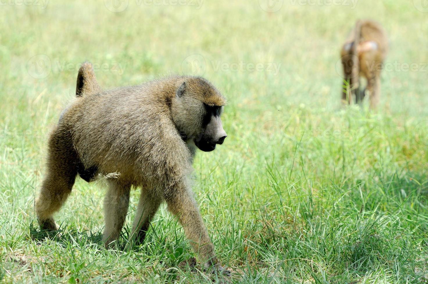 olivbavian i masai mara nationalpark i kenya foto